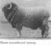 Північнокавказька порода овець