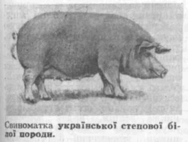Українська степова біла порода свиней